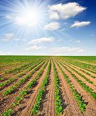 Sol del verano sobre el campo recién sembrado de girasol