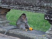 Close Up Of A Macaque In Angkor Wat That Has Finished Eating A Mango And Is Sitting In A Balistrade  poster