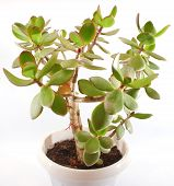Money Tree (crassula Plant)