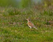 Common Skylark