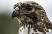 Close Up Of The Head Of A Red Tail Hawk (buteo Jamaicensis) With Out-of-focus Background. poster