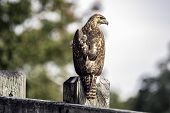 Red-tailed Hawk (buteo Jamaicensis) Looking To The Right On A Weathered Wooden Fence With Out-of-foc poster