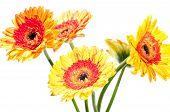 Five Orange Yellow Gerbera Flower