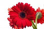 Red Gerbera Flower Close Up