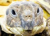 pic of testudo  - head and face of a tortoise  - JPG