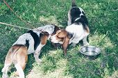 Two Tricolor Beautiful Adorable Basset Hounds On Grass. Dog Boy And Girl Looks And Smell At Each Oth poster