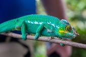 Close-up Of Male Green Panther Chameleon (furcifer Pardalis) In Lokobe Nature Strict Reserve In Mada poster