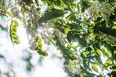 Honey Bee Collects Nectar From White Flowers Tree Acacia, Robinia Pseudoacacia, Black Locust, False poster