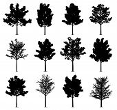 Maple Tree Silhouettes Isolated On White Background. Collection Of 12 Maple Trees. Eps File Availabl poster