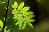 Rowan leaves in the morning dew