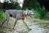 Cheerful Weimaraner Runing At Field In Dusk poster