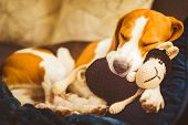 Adorable Beagle Dog Sleeping With His Favorite Sheep Toy. Canine Background. Lazy Rainy Day On Couch poster