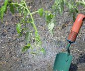 Molhar os tomates