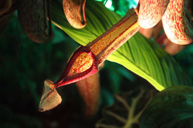 picture of nepenthes-mirabilis  - Nepenthes tropical pitcher plants Pitfall traps pitcher. ** Note: Shallow depth of field - JPG