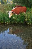 A Horned Hereford cow looking at it's reflection in the still waters of a river.