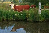 Horned Hereford cow standing in a field besides a river with a depth marker, it's reflection in the
