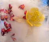 Background Of Aquilegiaflower Frozen In Ice