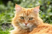 Portrait Of A Beautiful Ginger Cat