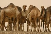 foto of nomads  - A remuda of camels rests belonging to Tuareg nomads of the Tuareg tribe in the Sahara Desert of Mali - JPG