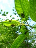 tree with leaves full of a plant louse