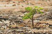 Green Tree And Desert