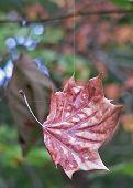 Leaf In Spider Web