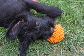 Standard Schnauzer Puppies Child