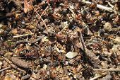 image of fire ant  - ant colony as very nice animal background - JPG