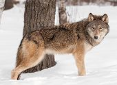 picture of lupus  - Grey Wolf  - JPG