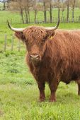image of highland-cattle  - A Highland Cow standing in a lush paddock - JPG