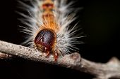 foto of stick-bugs  - A Hairy Caterpillar on a Stick with Black Background