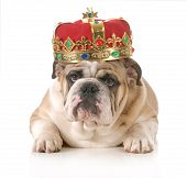 dog wearing crown - english bulldog wearing king's crown laying looking at viewer isolated on white background