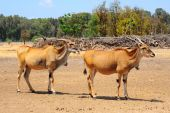 image of eland  - Eland Taurotragus oryx Is The Largest Of All Antelopes - JPG