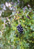 Dark Berries On A Twig