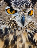 Great Horned Owl, closeup