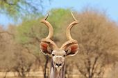 Kudu Bull - Wildlife Background from Africa - The best listener