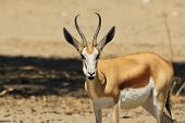 Springbok - Wildlife Background from Africa - Full Mouth from Funny Nature
