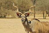 foto of greater  - A Greater Kudu bull stares into the lens, as seen in the wilds of Africa.
