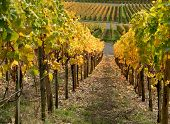 Autumn Vineyard Scenery