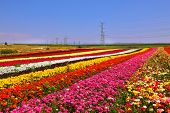 Phenomenally beautiful multi-colored flower fields. Garden buttercups /ranunculus/ of bright contras