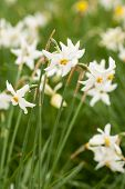 foto of narcissi  - National park of wild narcissies - Narcissus Valley. Famous Narcissus Valley the only in Europe reserve of the narrow leaf narcissuses. The international network of biosphere reserves by UNESCO.