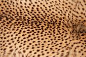 Close-up view of the skin of a cheetah (Acinonyx jubatus)