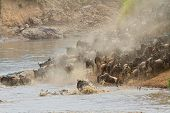Migratory blue wildebeest (Connochaetes taurinus) crossing the Mara river, Masai Mara National Reser