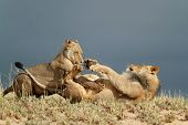 Playful young African lions (Panthera leo), Kalahari desert, South Africa