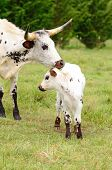image of texas-longhorn  - Young Texas Longhorn calves in the pasture on a warm summer morning - JPG