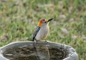 foto of woodpecker  - Male Golden - JPG