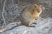stock photo of quokka  - Quokka  - JPG
