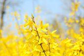 Beautiful Forsythia blossom outdoors
