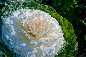 The White Flowering Cabbage And Kale Or Ornamental Cabbage And Kale Or Brassica Oleracea