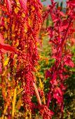 The Colorful Quinoa Tree In The Farm